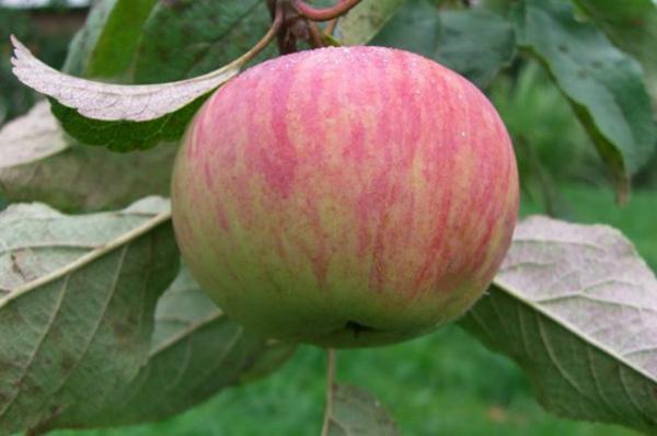 Яблоня Коричное полосатое 2