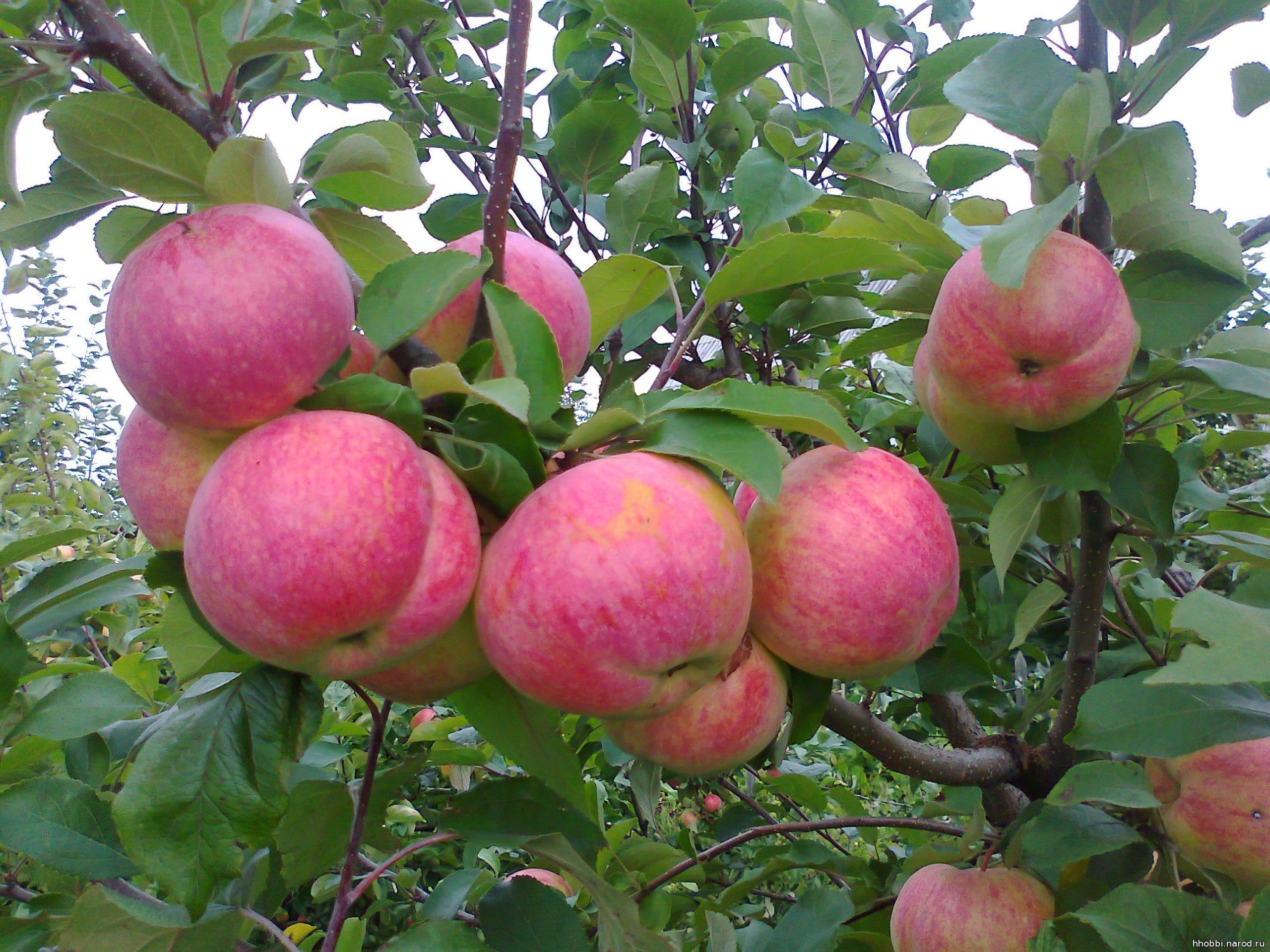 Яблоня Штрейфлинг 1
