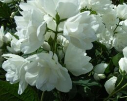Жасмин садовый (Чубушник) Букет Бланк