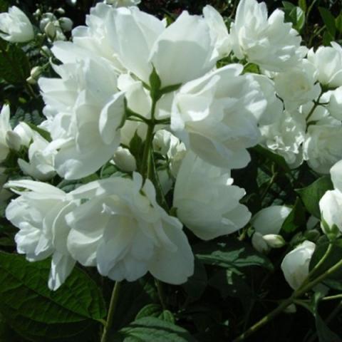 Жасмин садовый (Чубушник) Букет Бланк изображение 1