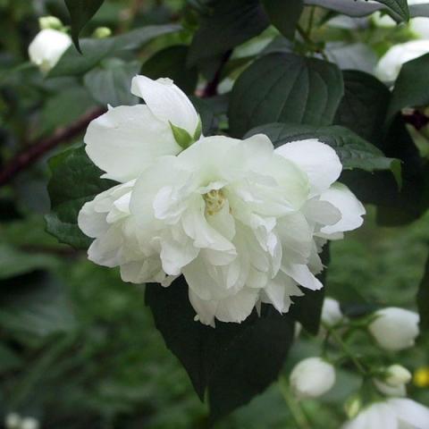 Жасмин садовый (Чубушник) Дам Бланш изображение 1