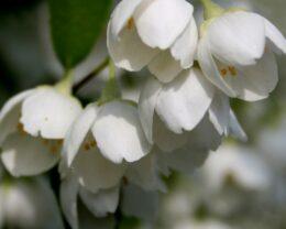 Жасмин садовый (Чубушник) Воздушный десант