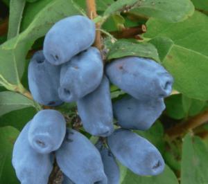 Посадка жимолости весной саженцами: технология и советы по уходу