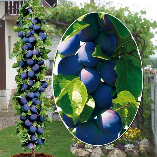 Посадка колоновидной сливы: эффективные советы по взращиванию