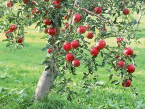 Посадка яблоней: как вырастить из саженца плодовое дерево