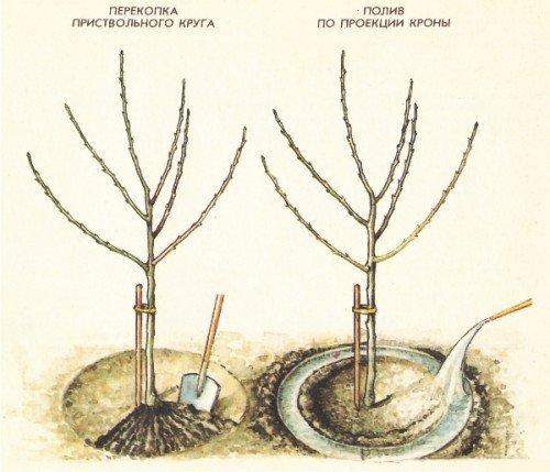 Посадка саженцев сливы: общие рекомендации для садоводов