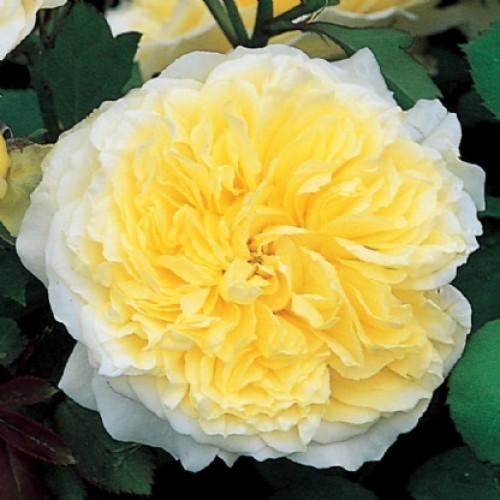 Роза английская Пилигрим 3