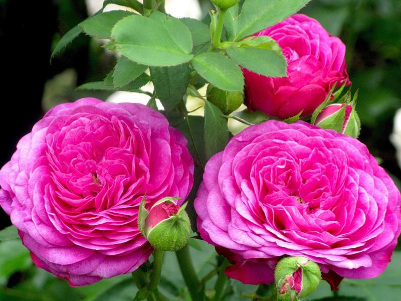 Роза Амулет 1