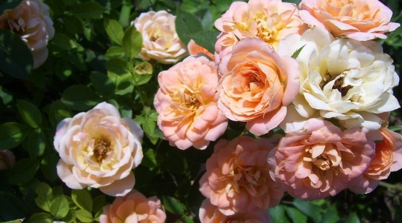 Роза Даниэлла изображение 2