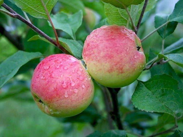 Яблоня Мантет изображение 1