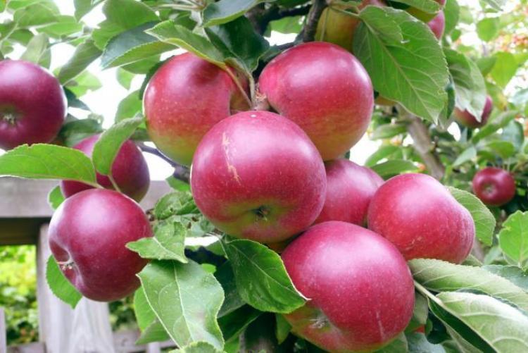 Саженцы яблони Орлик 3