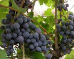 Виноград Зильга