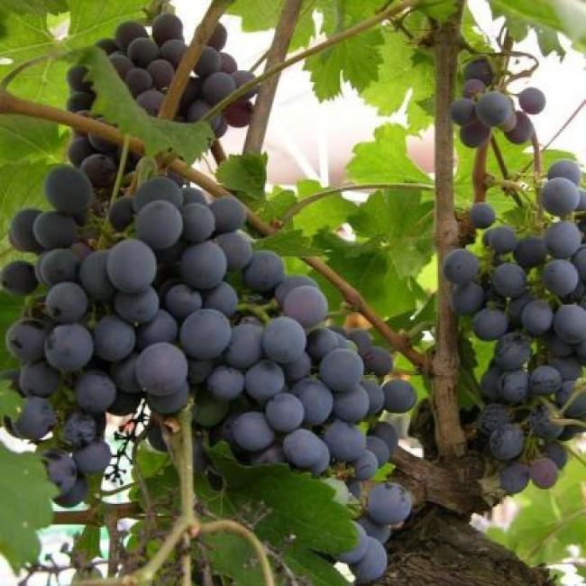 Виноград Зильга изображение 1
