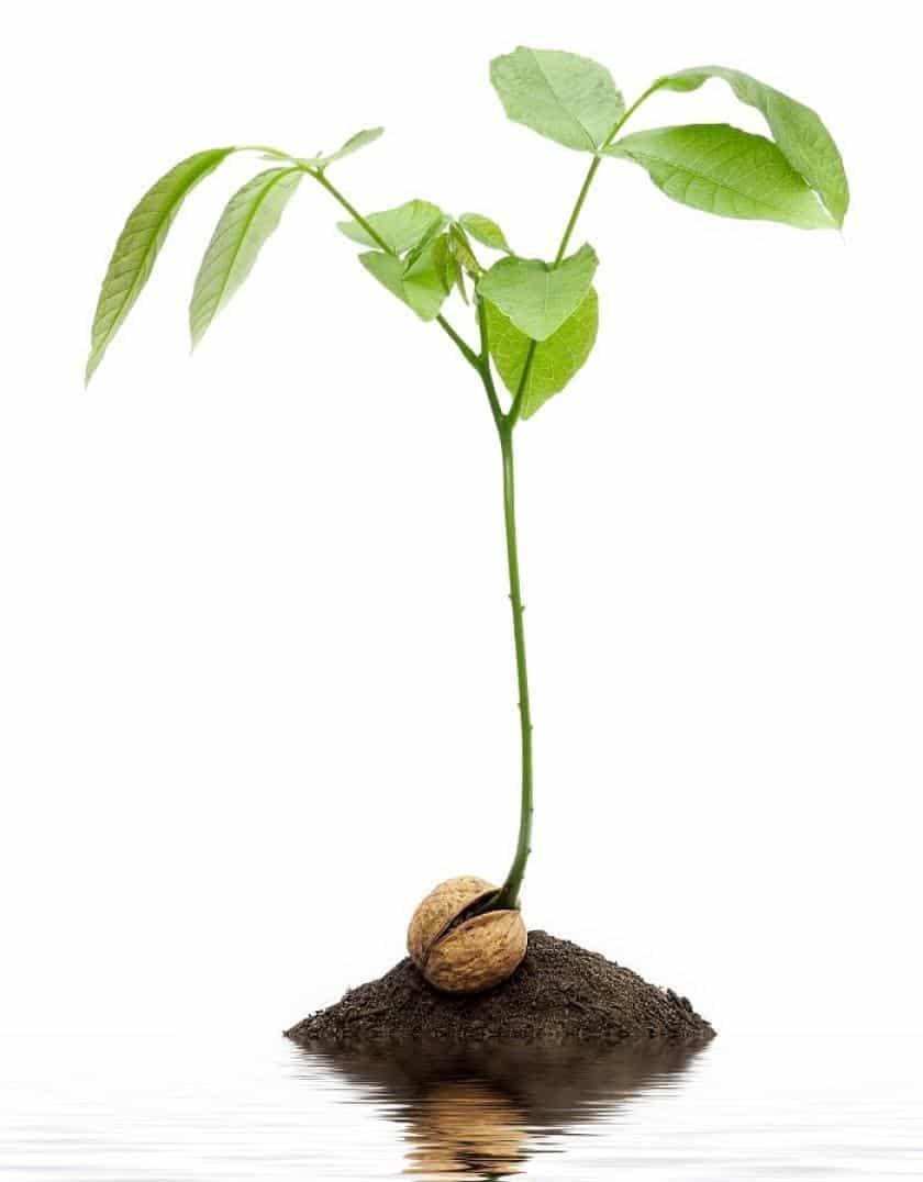 Посадка грецкого ореха: пошаговые рекомендации по взращиванию и уходу