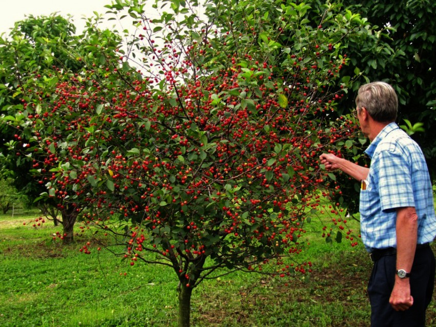 Сорта вишни, которые можно высаживать в Подмосковье