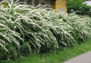 Посадка жасмина весной саженцами: советы для начинающих садоводов
