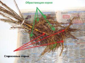 Посадка крыжовника весной саженцами – советы опытных агрономов