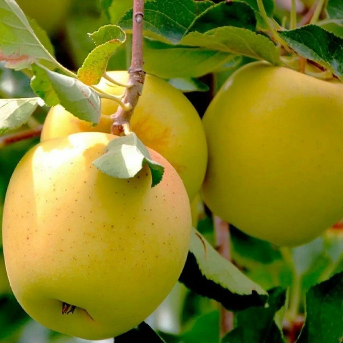 Яблоня Голден изображение 1