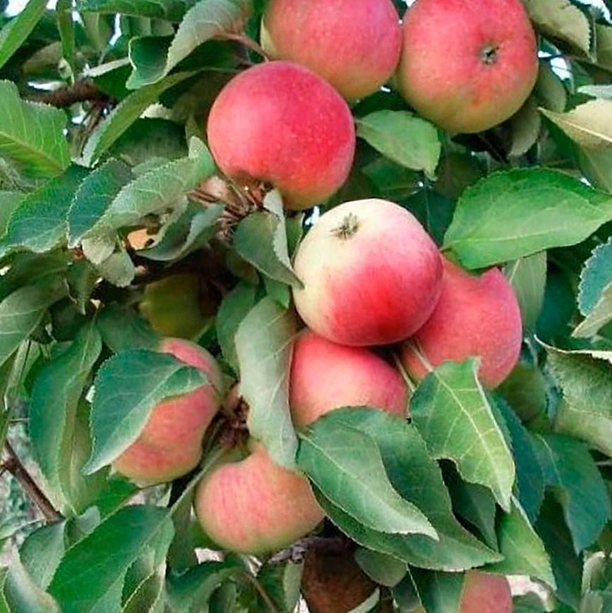Яблоня колоновидная Кумир 1