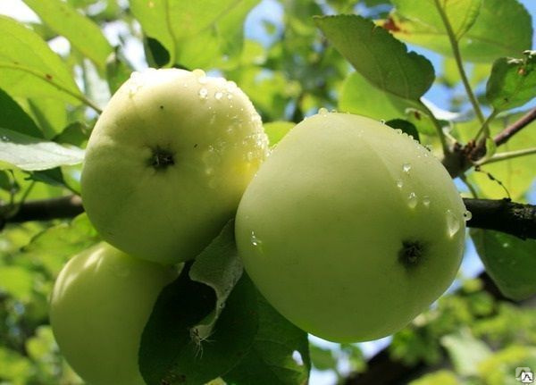 Яблоня Папировка 1