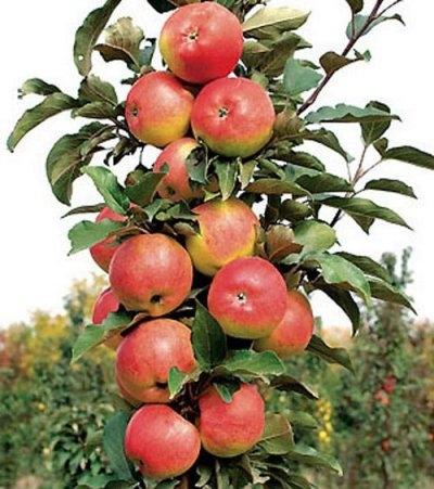 Колоновидная яблоня Останкино изображение 1