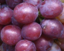 Виноград плодовый Сенатор