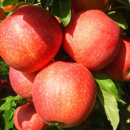 Яблоня домашняя Гала 3