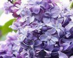 Сирень обыкновенная Надежда Syringa vulgaris Na