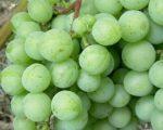 Виноград плодовый Лилла