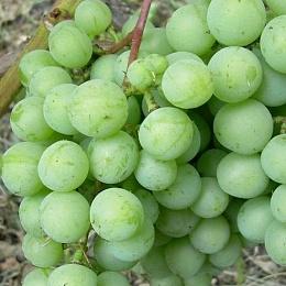 Виноград плодовый Лилла 1