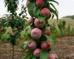 Яблоня колоновидная Гейзер