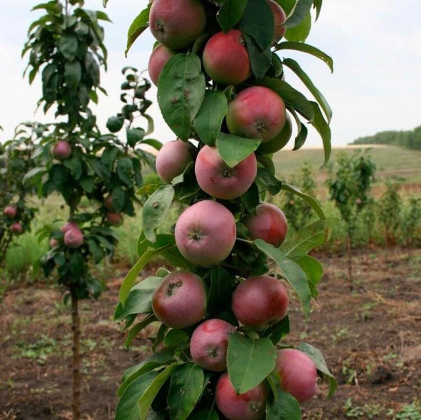 Яблоня колоновидная Гейзер изображение 1