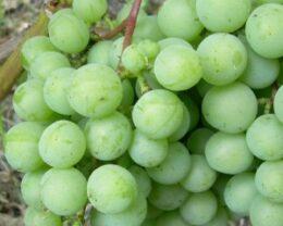 Виноград плодовый Онтарио