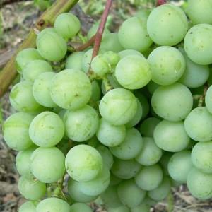 Виноград плодовый Онтарио изображение 1