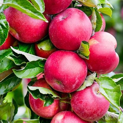 Колоновидная яблоня Червонец изображение 1