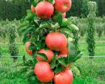 Колоновидная яблоня Баргузин