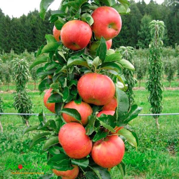 Колоновидная яблоня Баргузин изображение 1