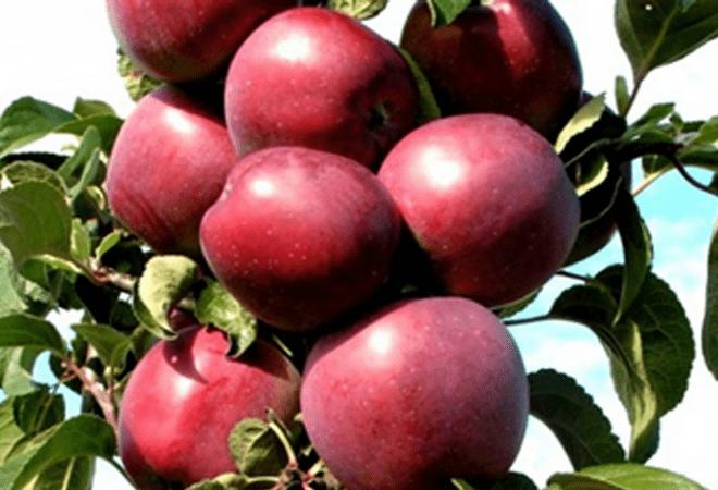 Колоновидная яблоня Червонец изображение 2