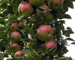 Колоновидная яблоня Талисман