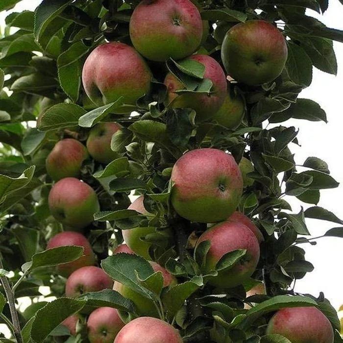 Колоновидная яблоня Талисман 1