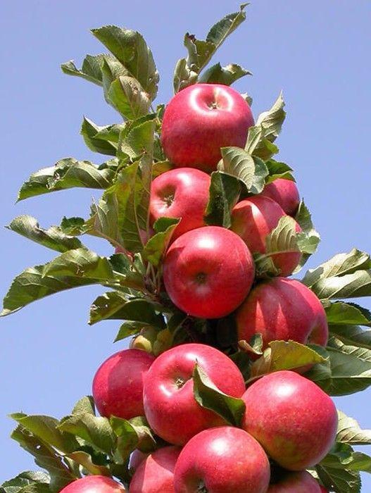 Колоновидная яблоня Стрела 3