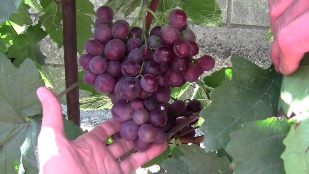 Виноград плодовый Сенатор 2