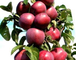 Колоновидная яблоня Стрела