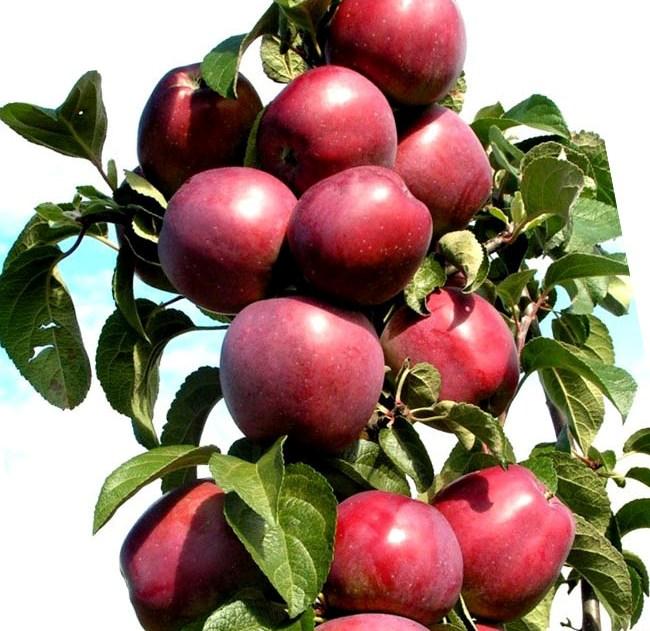 Колоновидная яблоня Стрела 1