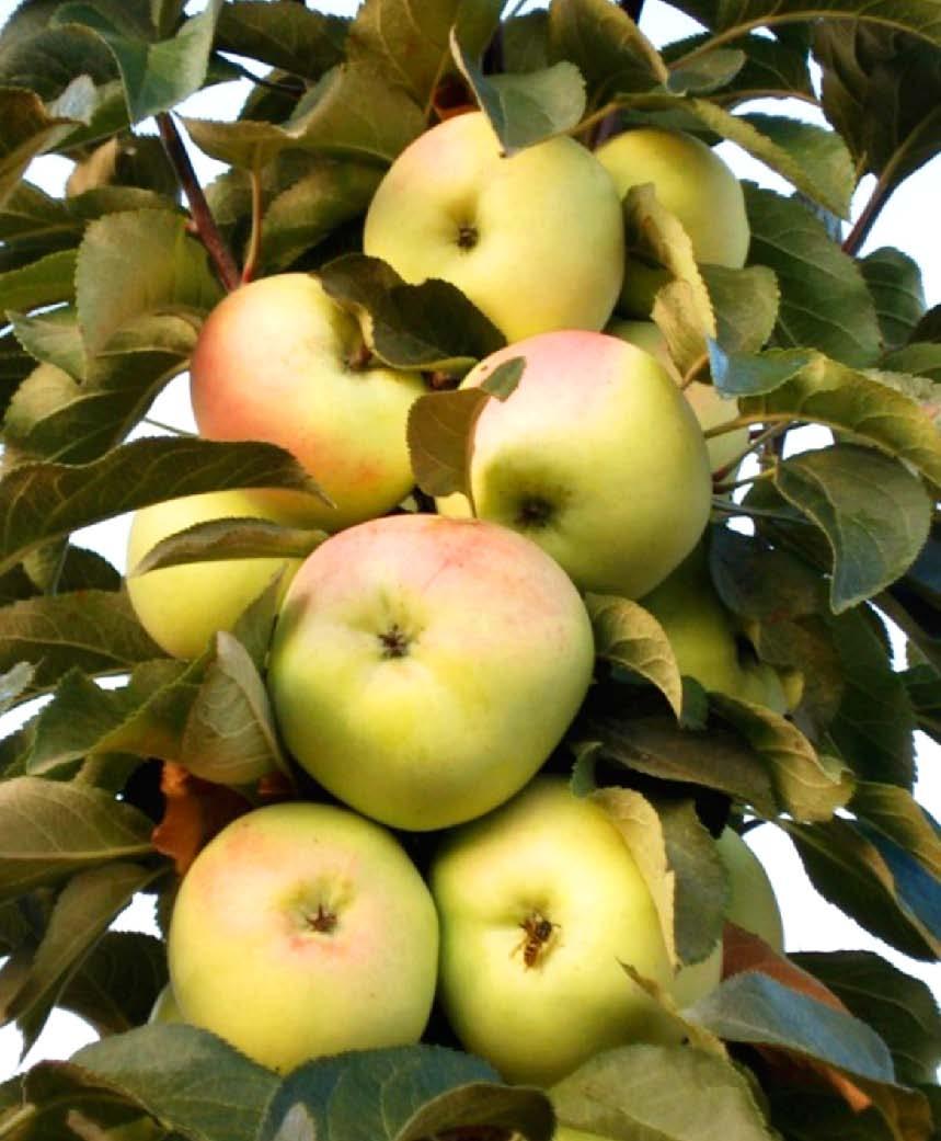 Колоновидная яблоня Медок 1