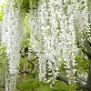 Глициния белая обильноцветущая Широ-нода 2