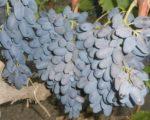 Виноград Аня