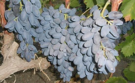 Виноград Аня изображение 1