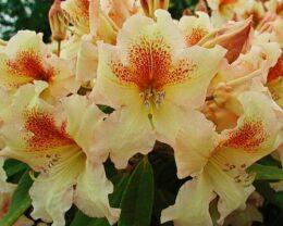 Рододендрон Бернштейн (Rhododendron Bernstein) гибридный