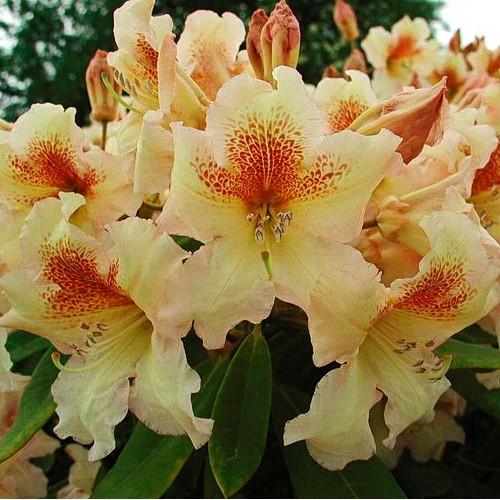 Рододендрон Бернштейн (Rhododendron Bernstein) гибридный изображение 1